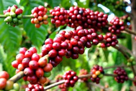 Coffee farmers to brew success