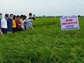 Hội thảo đầu bờ giới thiệu giống lúa chất lượng BC15-02 kháng đạo ôn tại Hải Dương