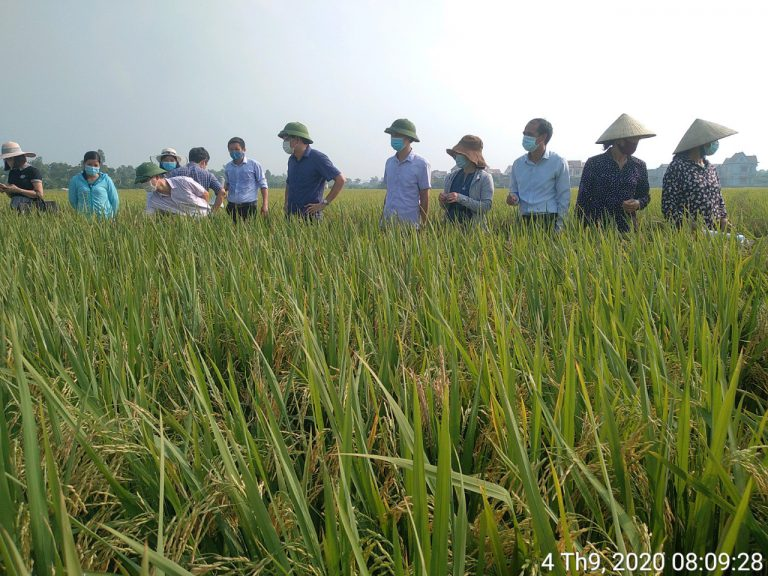 Hội thảo đầu bờ giới thiệu giống lúa chất lượng cao gia lọc 37 tại Nam Sách, Hải Dương