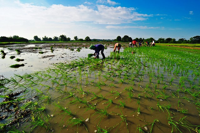 Crop models underestimate climate change impact on global rice production