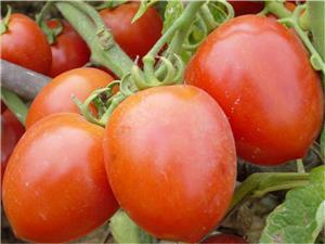 Giống cà chua C95