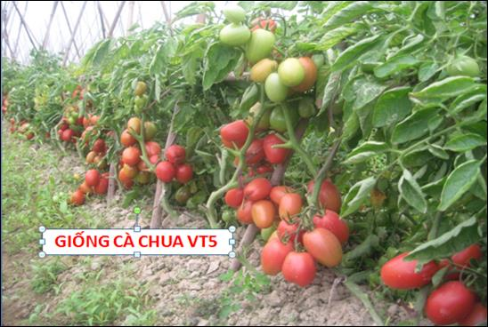 GIỐNG CÀ CHUA VT5