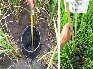 NEW IRRIGATION TECHNIQUE CAN EASE DROUGHT EFFECT ON RICE