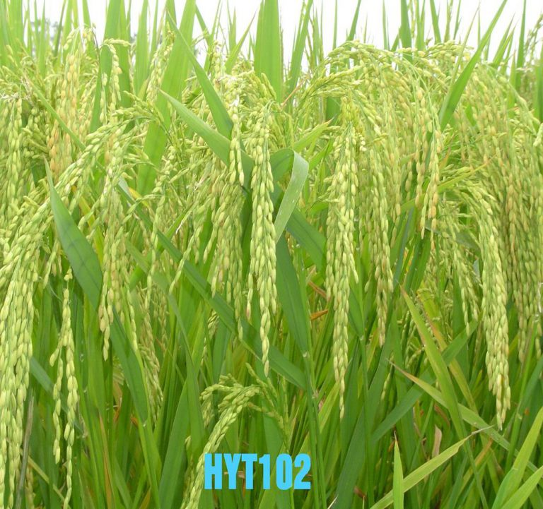 TWO LINE HYBRID RICE HYT102