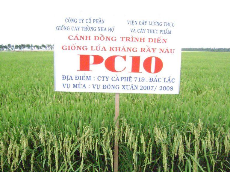 GIỐNG LÚA PC10