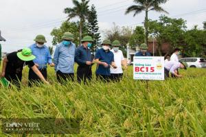 """Giống lúa BC15 mới – """"hoa hậu"""" làng lúa thuần, năng suất lên tới 8,8 tấn/ha"""